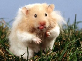 Teddy-Bear-Hamster